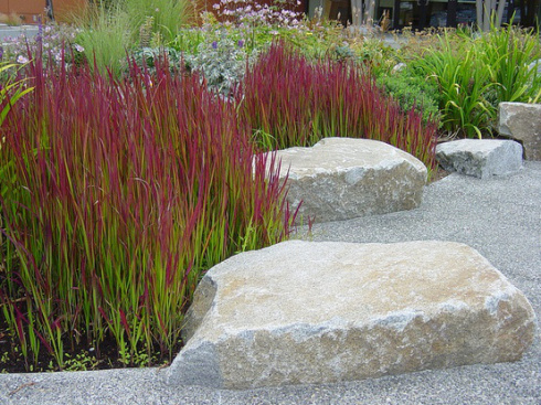 Japanese Blood Grass (Imperata Cylindrica Red Baron)